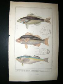 Cuvier C1835 Antique H/Col Print. Therapon, Four Lined Pelates, Trichdon Fish #17